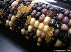 Chi Square corn genetics lab with monohybrid and dihybrid crosses