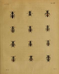 t. 10 1820-21 - Nova acta physico-medica Academiae Caesareae Leopoldino-Carolinae Naturae Curiosum - Biodiversity Heritage Library