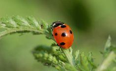 Viele Insekten sind nützliche Gartenhelfer: Sie gehen auf Blattlausjagd oder bestäuben Obstbäume und Beerensträucher. Wir geben Tipps, wie Sie Ihren Garten insektenfreundlich gestalten. Unten auf der Seite finden Sie außerdem einen Bauplan für ein Insektenhotel zum kostenlosen Download.