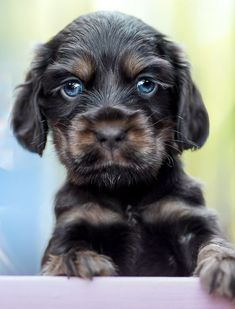 """Excellent """"english cocker spaniel"""" info is offered on our website. Check it out and you will not be sorry you did. Cocker Spaniel Puppies, English Cocker Spaniel, Pet Dogs, Dogs And Puppies, Toy Aussie, Huge Dogs, Cockerspaniel, Brussels Griffon, Swimming"""