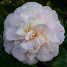 Camellia japonica 'General Lamoriciere' (France, 1909)