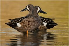 Blue-winged Teal males