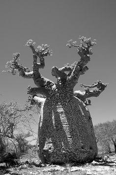 Baobab tree : D