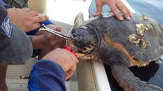 Salvataggio tartaruga caretta caretta Good People, Turtle, Fish, Animals, Turtles, Animales, Animaux, Tortoise, Pisces
