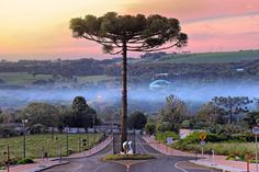 The road built around an araucaria tree (Brazil)