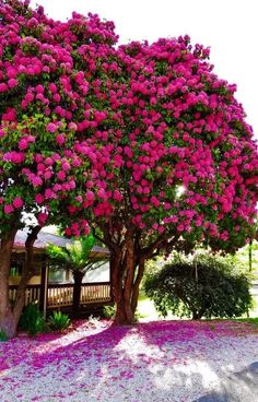 Pink Rhododendron tree at Marysville Unique Trees, Colorful Trees, Nature Tree, Flowers Nature, Garden Trees, Trees To Plant, Beautiful Landscapes, Beautiful Gardens, Baumgarten