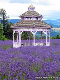 Lavendar fields around the gazebo