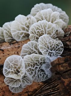 The ghostly colour of the fungi makes the image look mysterious. The line in the fungi looks strange also. All Nature, Science And Nature, Amazing Nature, Wild Mushrooms, Stuffed Mushrooms, Mushrooms Recipes, Growing Mushrooms, Plant Fungus, Rare Species