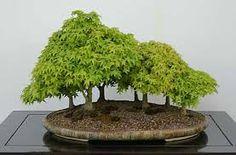 Resultado de imagen de bosque de arces bonsai