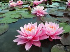 Nymphaea 'Pink Sunrise' à Latour-Marliac, Le Temple-sur-Lot, France.