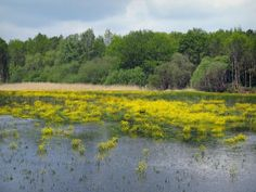 Sologne - Lake dotted with yellow flowers and trees