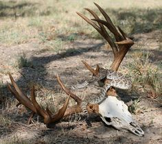 Rattlesnake wound around antlers of skull Deer Skulls, Deer Antlers, Elk Skull, Reptiles And Amphibians, Mammals, Deer Pictures, Deer Pics, Big Deer, Deer Mounts