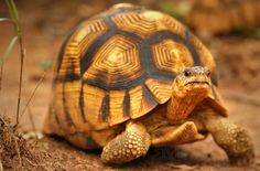 Ploughshare Tortoise  The angonoka tortoise is a critically endangered species of tortoise endemic to Madagascar. It is also known as the angonoka, ploughshare tortoise, Madagascar tortoise, or Madagascar angulated tortoise.   Source: http://www.reptilescanada.com/