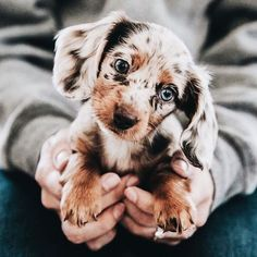 Cute pictures of Dachshund puppies and dogs. This is a dapple, blue eyed Dachshund. Pictures of Dachshunds that will make you happy. Photos of Dachshunds. Cute Little Animals, Cute Funny Animals, Funny Dogs, Baby Animals Super Cute, Cute Little Dogs, Funny Puppies, Cute Dogs And Puppies, Doggies, Puppies Puppies