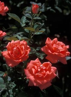 Tropicana rose bush, one of the beautiful orange roses, previously called…