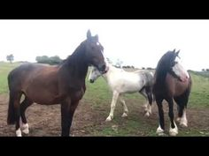 Our regular late evening check on the horses out in their summer pasture. Late Evening, Horse Videos, Horses For Sale, Show Jumping, Cob, Jazz, Irish, Babies, Animals