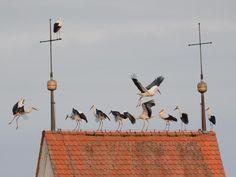 ImAuftrag des Herrn unterwegs? Störche rasten im baden-württembergischen Amtzell auf dem Dach des Kirchturms. Foto: Felix Kästle