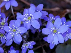 Blåveis, (Hepatica nobilis).  Blåweiss...blå is blue in Norwegian and similar to Edelweiss. This spring flower pops up in February and everyone heads to the woods (skogen) to see the first flowers of spring.