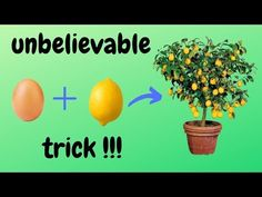 ☑️ φύτεμα λεμονιάς - lemon planting - how to - 🍋 - unbelievable trick 🌳 Home Vegetable Garden, Fruit Garden, Garden Plants, Growing Vegetables, Growing Plants, Fruit Trees, Trees To Plant, Home Made Fertilizer, Container Gardening