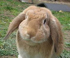lop eared rabbits - Google Search