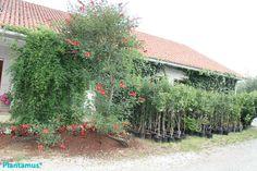 """Erythrina """"Crista Galli"""", Ceibo,  en flor y frutales en maceta."""