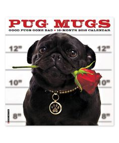 Loving this Pug Mugs July 2015-Dec 2016 Wall Calendar on #zulily! #zulilyfinds