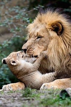 The King of Beasts and His Little Prince!