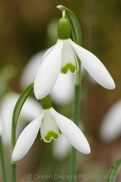 Snowdrops, the first sign of spring coming!