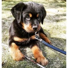 """Excellent """"Rottweiler dogs"""" info is offered on our site. Check it out and you wont be sorry you did. Cute Puppies, Cute Dogs, Dogs And Puppies, Doggies, Chihuahua Dogs, German Dog Breeds, Rottweiler Puppies, Rottweiler Funny, Dog Breeds"""