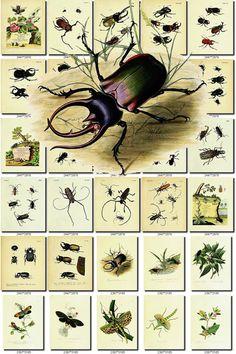 INSECTS-76 Collection of 232 vintage illustration Cicada Acanthosoma, Acarina, Acheta, Agria, Allucita, Alucita, Androctonus, Anthia, Ants, Aphana, Aphodius, Apis, Aptinus, Arthrogastera, Ascalaphus, Astacus, Ateuchus, Attelabus, Aulacodus, Beetles, Bembex, Blatta, Boatfly, Bombycida, Bombyx, Bomybx, Bostrychida, Bostrychus, Brachinus, Bruchus, Buprestis, Butterflies, Butterfly, Calandra, Calleida, Calosoma, Cantheris, Carabida, Carabus, Casnonia, Catas