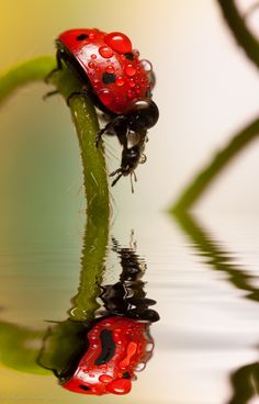 Reflection of lady bug