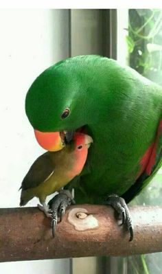 Momma parrot and baby. or parrot and lovebird? All Birds, Cute Birds, Pretty Birds, Beautiful Birds, Animals Beautiful, Exotic Birds, Colorful Birds, Animals And Pets, Cute Animals