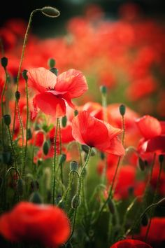 Poppies...so beautiful! This would look great in a mass planting as a border.