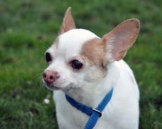 Chiquita is a 13 year old Chihuahua in need of a loving home. Please contact the Seattle Animal Shelter if you can help her.