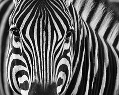 Zebra / Zebras Eye 8 x 10 GLOSSY Photo Picture  https://www.amazon.com/dp/B01AS87H3G/ref=cm_sw_r_pi_dp_x_n7BsybWYYJJMK