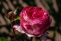https://flic.kr/p/ThPDHE | Red Cabbage Rose - Roses galore - Las Garzas - March 30 2017-4 | Also join me at www.flickr.com/photos/jax_chile/ and/or johnbankson.tumblr.com/  Photos by John Edward Bankson using a Fujifilm X-T1 camera paired with a Fujinon XF50-140mm F2.8 R LM OIS WR lens with a Fujinon XF 1.4X TC WR Teleconverter.