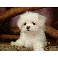 Lovely Little White Fluffy Puppy 1920*120013 - Wallcoo.net ❤ liked on Polyvore featuring animals, pets, dogs, backgrounds and pictures
