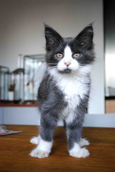 Adorable Maine Coon kitten http://www.mainecoonguide.com/maine-coon-personality-traits/