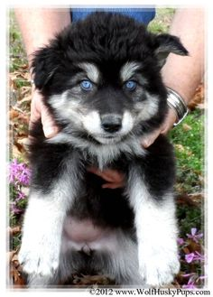 WOLAMUTES for Sale   for sale adoption giant wolamute puppies for sale