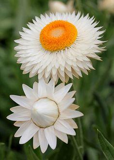 Xerochrysum bracteatum, también conocida como Margarita de papel, Margarita eterna o Brácteas blancas.