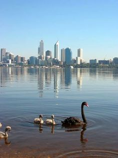 Swan River with Perth, Capital city of Western Australia in background. an old photo of Perth Perth Western Australia, Visit Australia, Australia Travel, Kings Park, Vacation Places, Black Swan, Capital City, Places To See, New Zealand
