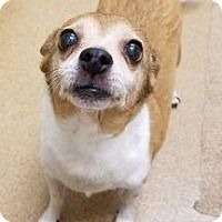 Chihuahua dog for Adoption in Seattle, WA. ADN-699450 on PuppyFinder.com Gender: Female. Age: Adult