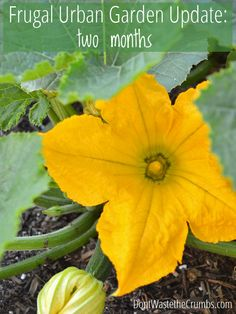 Frugal Urban Garden Update:  Two Months Into the Season - see how a small urban garden is coming long at just two months!