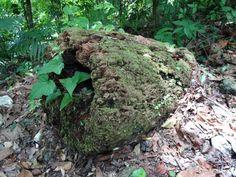 Colomos en el tronco seco de un árbol