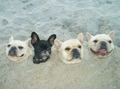 Beach frenchies