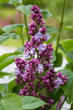 Sirel  'Catherine Havemeyer' / Syringa vulgaris / Lilac by Pille - Nami-nami, via Flickr