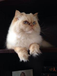 Himalayan cat portland oregon