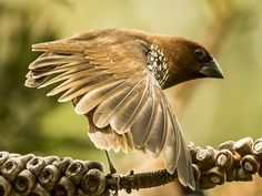 Birds of Asia: Scaly-breasted munia, Estrildid FINCHes