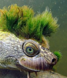Mary river turtle algae - photo#21