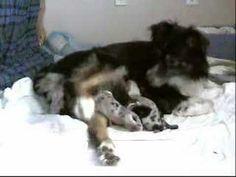 Whelping Puppies Birthing DVD. Pregnant Dog Having Puppies ... #bloodhound puppies